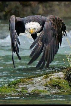 Àguila