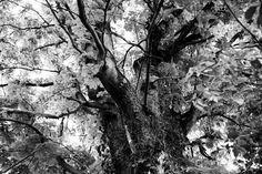 Alter Kastanienbaum im Garten meiner Eltern