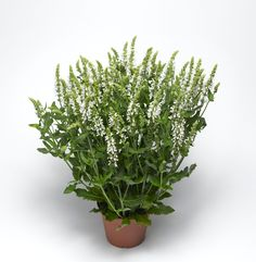 Salvia Bordeau White by Syngeta Flowers - Year of the Salvia - National Garden Bureau