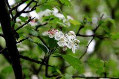 Der Weißdorn unterstützt das Herz und hilft bei Leid und Kummer. Die Beeren kannst du zu leckerem Fruchtmus verarbeiten.: