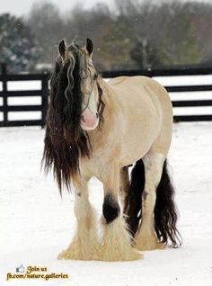 Snow Covered Gypsy Vanner