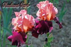 """Radiant Garb Introduced by Hester 2010 Intense dusty pink standards that glow in the sunshine. Deep magenta-wine falls with Orange beards. This iris is a Great bloomer. Grows to 38""""  Midseason bloom"""