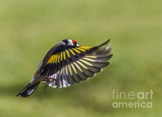 A European Goldfinch, Carduelis carduelis, in flight.