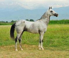 Grey Akhal Teke. Thanks to God, there aren't many of grey Akhal Tekes. I'm not fond of this color, no matter how it looks, it's a harmless disease. Like a virus it spreads in the population where appears