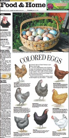 Knoxville News Sentinel artist Don Wood created this design for our Food & Home front today about the variety of colored eggs produced by different breeds of chickens. Wood drew each chicken by hand. Different colored eggs from different chicken breeds. The Farm, Keeping Chickens, Raising Chickens, Chicken Life, Chicken Eggs, Chicken Breeds For Eggs, Chicken Egg Colors, Easter Egger Chicken, Different Breeds Of Chickens