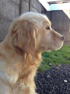 """Golden profile From your friends at phoenix dog in home dog training""""k9katelynn"""" see more about Scottsdale dog training at k9katelynn.com! Pinterest with over 20,200 followers! Google plus with over 138,000 views! You tube with over 500 videos and 60,000 views!! LinkedIn over 9,000 associates! Proudly Serving the valley for 11 plus years!"""
