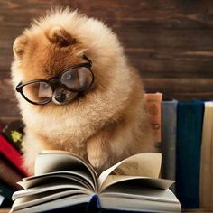 Pomeranians love a good novel #pomeranian