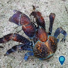 This crazy-looking crab is a coconut crab. The largest terrestrial invertebrate in the world, the coconut crab can grow up to one meter from leg to. Coconut Crab, Crab Art, Creature Of Habit, Australia Animals, Ocean Creatures, Environment Concept Art, Creature Design, Illustrations, Marine Life