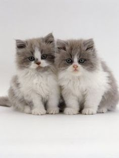 Most Famous Persian Cat Names Click the picture to see