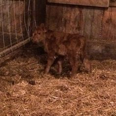we had our first Dexter calf. A little bull. Damn Legend Red Halo and sire Gladhour Usommdance Dexter Cattle, Small Breed, Livestock, Halo, Calves, Dogs, Red, Animals, Baby Cows