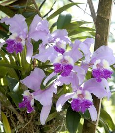 Las Cattleyas son de las orquídeas más comunes en la jardinería en Cuba