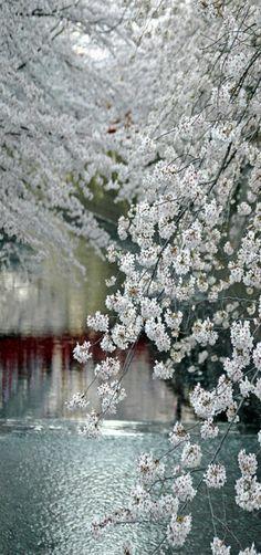Río Meguro en Tokio durante la temporada de los cerezos en flor. El reflejo rojo es de una pasarela sobre el río -Japón