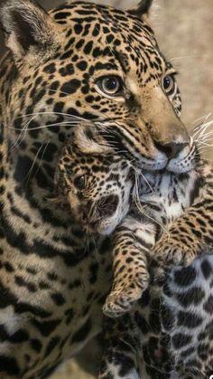 Animals Amazing, Big Animals, Cute Baby Animals, Animals And Pets, Big Cats, Cats And Kittens, Cute Cats, Beautiful Cats, Animals Beautiful