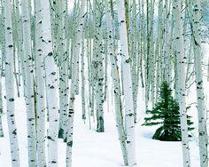 Aspen & Birch Tree Murals | Murals Your Way