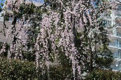 #cherry blossoms, #weeping cherry, #pink, #spring, #beautiful,