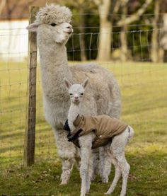 Quito, a four-day-old baby alpaca, also known as a cria, pictured with his mother Miriam in the spring sunshine at Great House Alpacas Stud, Oxfordshire Cute Funny Animals, Cute Baby Animals, Farm Animals, Animals And Pets, Baby Alpaca, Cute Alpaca, Alpacas, Llama Pictures, Animal Pictures