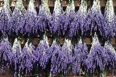 6 Profitable Lavender Varieties for Backyard Growers - Extra Income Over 55 Growing Lavender, Growing Herbs, Growing Roses, Lavender Varieties, Cash Crop, Lavender Bouquet, Citrus Trees, French Lavender, Down On The Farm