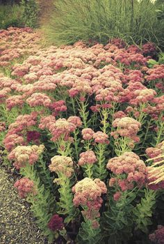 'Autumn Joy' Sedum - a true garden classic.  Tip: pinch off heads in June produces smaller (and more) florets and keep stalks upright.