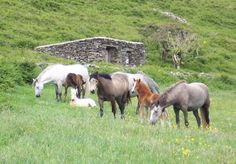 Photo of several Connemara Pony mares and foals