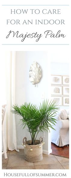 How to Care for an Indoor Majesty Palm   House Full of Summer - Coastal Home & Lifestyle, Florida home, plant care, palm trees indoors, growing tropical house plants #housefullofsummer