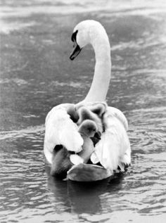 Swan swims with offspring on back, Manfred Grohe Tavlor, Glicée & Canvas från Easyart.se