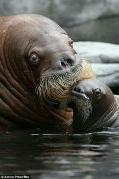 The baby walrus and his mother are pictured playing in the water of their enclosure at the zoo in the district of Stellingen today. I love their mustaches. Cute Baby Animals, Animals And Pets, Funny Animals, Baby Walrus, Animal Original, Wale, Ocean Creatures, Tier Fotos, Mundo Animal