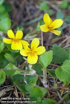 Viola sempervirens | evergreen violet | Wildflowers of the Pacific Northwest