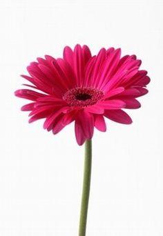 gerbera-rosa.jpg (241×350)