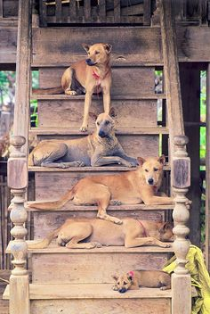 dogs on stairs :D (sure do look like Carolina dogs!)