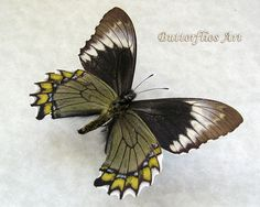 Green Colored Battus Madyes Chlorodamas Real Butterfly In Shadowbox by ButterfliesArtist on Etsy