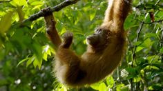 Since its launch in NATURE on PBS has continually brought the beauty of the natural world to viewers across the country. Browse our full collection of episodes over the years, exploring a wide variety of species and animal behaviors. Primates, Nature Images, Nature Photos, Sumatran Orangutan, Year Of The Monkey, In The Tree, Endangered Species, Full Episodes, Natural World