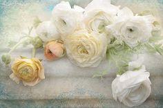White Ranunculus by Georgianna Lane