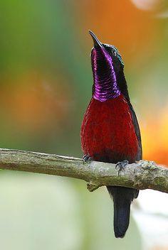 Purple-throated Sunbird, male, Nectarinia sperata. Photo taken 1/25/2008 at Lower Pierce Reservoir by Eddy Lee. SE Asia
