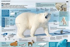 Animales - Infografías All About Animals, Animals Of The World, Veterinarian Technician, Animal Posters, Animal Projects, Polar Bear, Neko, Arctic, Biology