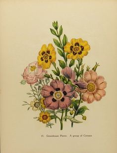 Rockroses, Vintage Flower Print (Victorian Artist Lithograph, 1940s Botanical Illustration No. 15)