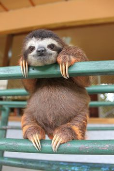 O.M.G. cute! Sloth, chillin' on a fence ...