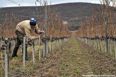AMICI VINORUM HOLDS PRUNING CONTEST IN OLASZLISZKA http://www.tokajtoday.com/2015/03/09/amici-vinorum-holds-pruning-contest-in-olaszliszka/