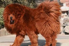 "The most expensive dog in the world  was sold in March of 2011 to a Chinese buyer for the price of 1.5 million usd.  It was a rare Tibetan Mastiff who was named ""Big Splash"".  He currently weighs 180 pounds and has a fluffy red coat of fur.    The Tibetan Mastif is considered one of the oldest breeds of dogs and it is rumored that both Buddah and Gengis Kahn owned one of them."