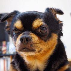 . もっと犬らしい愛嬌のある表情頼んますわ。。😂 カッコつけやからなー。 ま、ええとしよ。 . . #犬 #相棒 #ジュリ #愛犬 #ぼかし #カッコつけ #カメラ目線 #写真