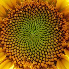 The Fibonacci pattern on the Sunflower