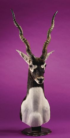 antelope pedestal mounts images | ... :Taxidermy, BLACKBUCK ANTELOPE PEDESTAL SHOULDER MOUNT. ... Image #1