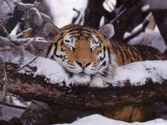 Black Tiger Animal | Wallpapers White Tiger Animal Nature Sleepy Sleeping Snowy Log Winter