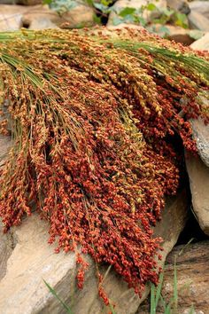 Broom Corn or Sorghum traditionally used to make brooms its also a great sugar substitute making Sorghum syrup from the stalks, the seeds can also be popped for a tasty snack.--bought some of this dried to use in my fall decorations