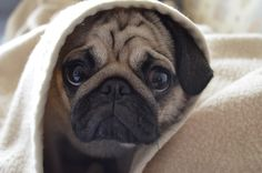 Kulka the Pug: Jedi indeed...
