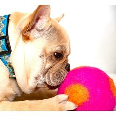 A toy your pet will love! This Isabella Cane wool ball is so bright and fun for your pet.