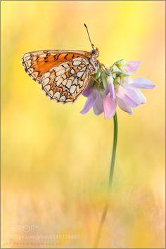 Melitaea parthenoides by PeterSchwarz. @go4fotos