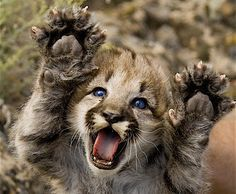 Puma or mountain lion kittens are born spotted, with blue eyes & rings on their tails. (NPS photo by Grand Canyon SRM) Big Cats, Cats And Kittens, Cute Cats, Adorable Kittens, Beautiful Cats, Animals Beautiful, Beautiful Babies, Cute Baby Animals, Funny Animals