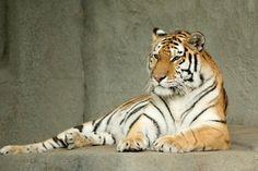 Tigers......