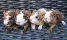 Image result for guinea pig nursing babies
