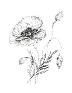 Flower sketches: Poppy drawing, botanical prints, floral illustrati...